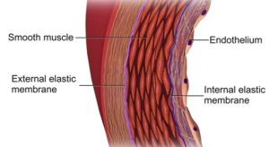 Endothelial Function