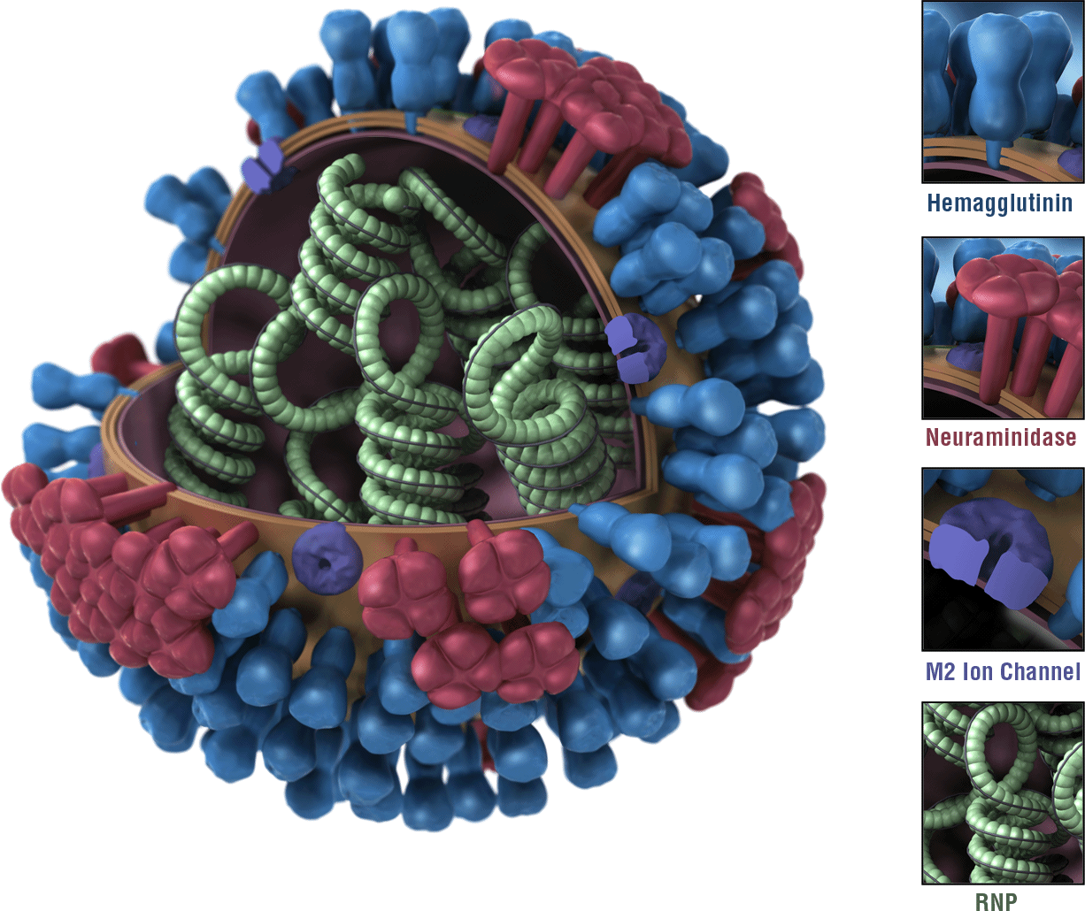what is the flu? revolution health \u0026 wellness Pneumonia Virus Cartoon virus structure