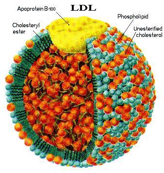Apolipoprotein-B (ApoB)