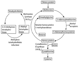 functional medicine methylation cycle